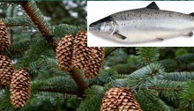 Foods of Norway - from trees to fish feed